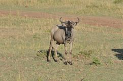 好奇Wildebeast凝视马塞人的玛拉陌生人在肯尼亚,非洲 库存图片