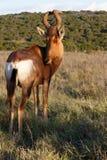 好我有眼睛红色Harte-beest -狷羚buselaphus caama 图库摄影