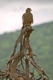好战在Umfolozi比赛储备,南非的树,在1897年建立 库存图片