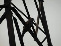 好战坐在高钢结构的一条射线与在额嘴的骨头 免版税库存照片