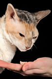 好挑剔的用手提供的猫和食物 库存图片