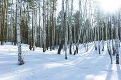 好日子在冬天桦树森林里 免版税库存照片