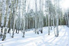 好日子在冬天桦树森林里 库存图片