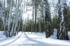 好日子在冬天桦树森林里 免版税图库摄影