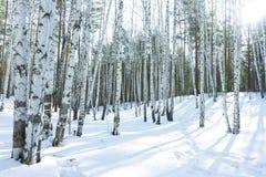 好日子在冬天桦树森林里 库存照片