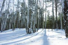 好日子在冬天桦树森林里 图库摄影