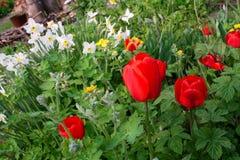 好日子在有红色郁金香和白色黄水仙的庭院里 免版税库存照片