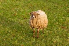 好的公羊 免版税库存照片