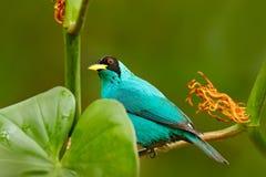 好的动物特写镜头画象在栖所 美丽的鸟细节  绿色Honeycreeper, Chlorophanes spiza,异乎寻常的热带malac 免版税库存图片