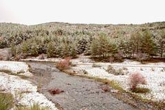 好的多雪的杉木森林 图库摄影