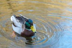 好的年轻野鸭鸭子游泳和饮料浇灌,早期的春天 库存图片