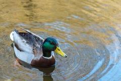 好的年轻野鸭鸭子游泳和饮料浇灌,早期的春天 免版税库存图片