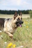好的德国牧羊犬狗赛跑 库存照片