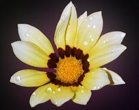 好的杂色菊属植物 免版税库存照片