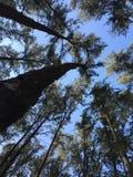 好的杉树背景 免版税库存照片
