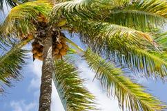 好的棕榈树用椰子 免版税图库摄影