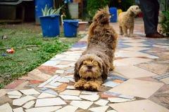 好的棕色狗''舒展象瑜伽hasana的早晨的chapi 免版税库存照片