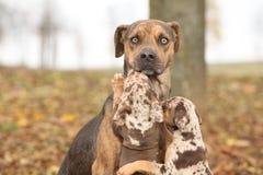 路易斯安那Catahoula狗被惊吓育儿 免版税库存照片