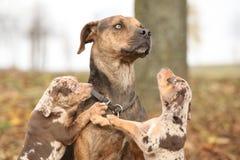 路易斯安那Catahoula狗被惊吓育儿 免版税图库摄影