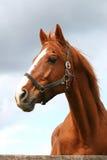 好的棕色马画象在畜栏 免版税图库摄影