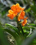 好的橙色兰花有绿色背景 库存照片
