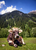 好的母牛 库存图片