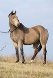 好的海湾短距离冲刺的马 免版税库存照片