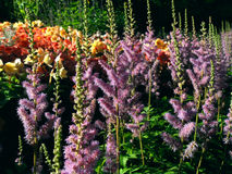 好的淡紫色花在庭院里 免版税库存照片