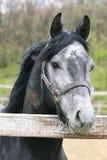 好的灰色马画象在畜栏 库存照片