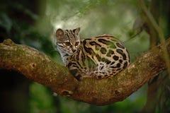 好的猫margay sitiing在分支在哥斯达黎加的热带森林里 库存图片
