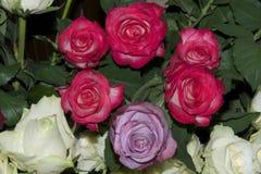 好的玫瑰 库存图片