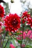 好的红色花 库存图片