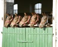 好的纯血种马在槽枥产驹 库存图片