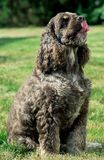 好的美国美卡犬画象  免版税库存图片