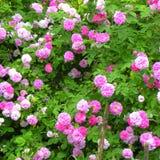 好的花在庭院里盛夏,在一个晴天 库存图片