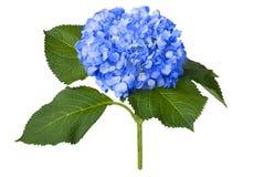 好的蓝色八仙花属 免版税库存图片