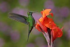 好的蜂鸟绿色加冠了精采, Heliodoxa jacula,飞行在与砰花的美丽的橙色花旁边在backg 库存照片