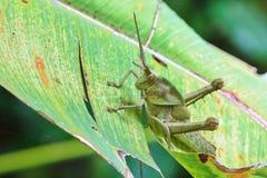 好的装甲的蚂蚱 图库摄影
