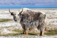 好的观点的在塔吉克斯坦的牦牛 库存照片