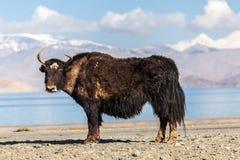 好的观点的在塔吉克斯坦的牦牛 免版税库存图片