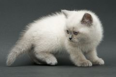 好的逗人喜爱的英国小猫 图库摄影