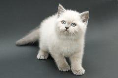 好的逗人喜爱的英国小猫 免版税库存照片