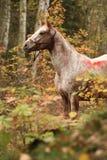 好的阿帕卢萨马母马在秋天森林里 库存图片