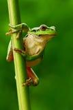 好的绿色两栖欧洲雨蛙,雨蛙arborea,坐草有清楚的绿色背景 在na的美丽的两栖动物 库存图片