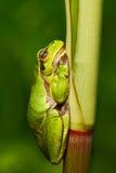 好的绿色两栖欧洲雨蛙,雨蛙arborea,坐草有清楚的绿色背景 在na的美丽的两栖动物 免版税图库摄影
