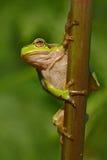 好的绿色两栖欧洲雨蛙,雨蛙arborea,坐草有清楚的绿色背景 在na的美丽的两栖动物 图库摄影