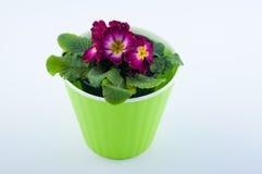 好的紫色和黄色报春花开花与在白色隔绝的绿色塑料罐的叶子 图库摄影