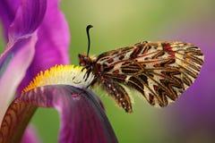 好的蝴蝶南部的花彩, Zerynthia polyxena,吮花蜜从黑暗的紫罗兰色虹膜花 库存照片