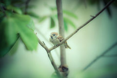 好的麻雀鸟坐树枝绿色背景 库存图片