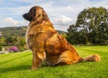 好的Leonberger的画象坐绿草 库存照片
